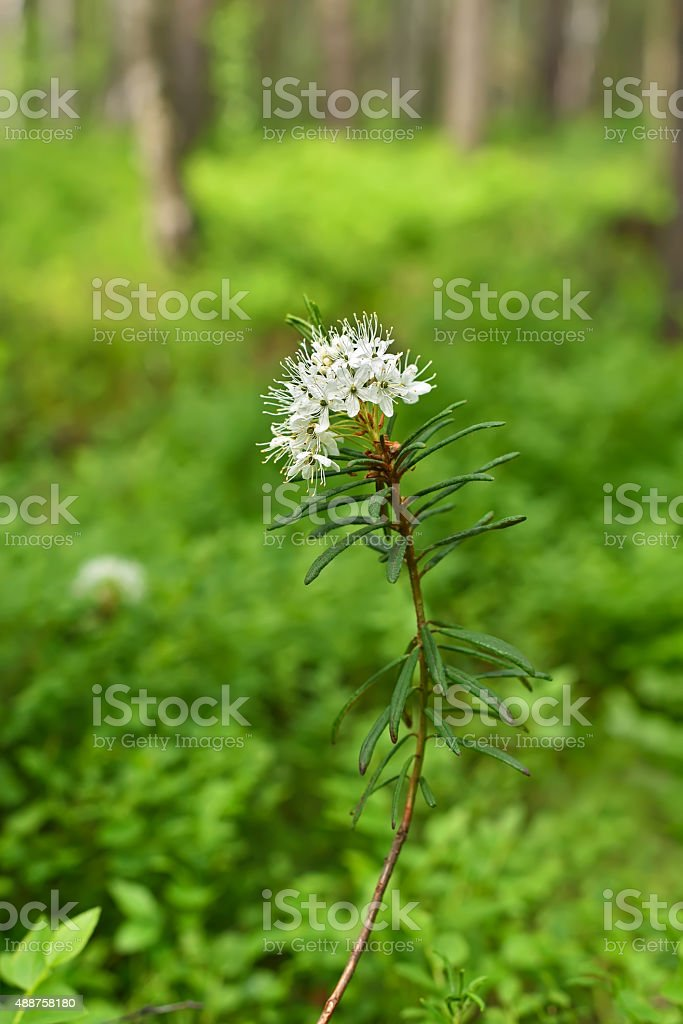 Blomming Ledum palustre stock photo