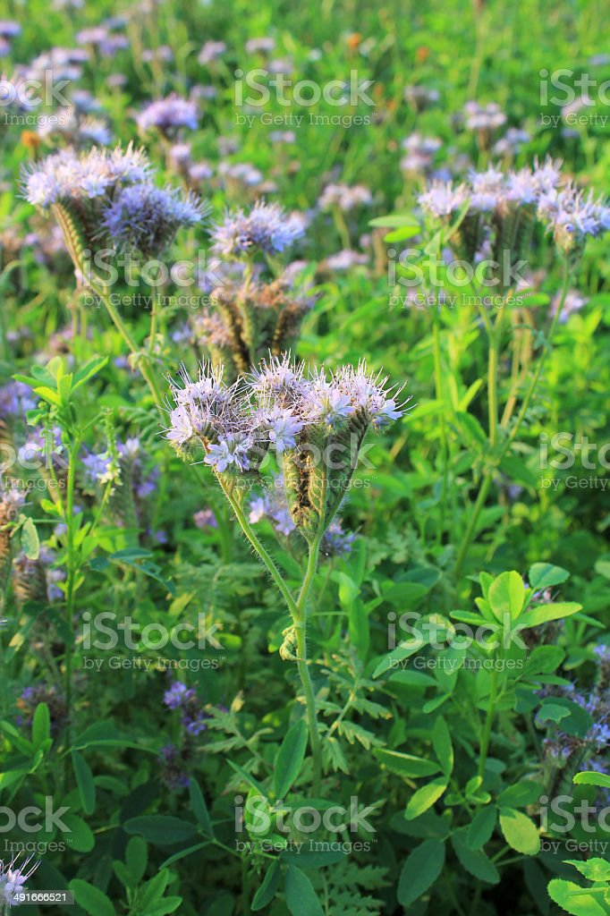 Blomming Phacelia tanacetifolia- bee pasture stock photo
