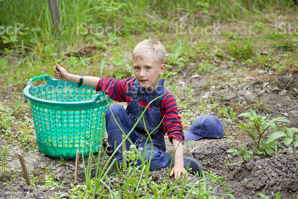 blond boy weeding in the garden. stock photo