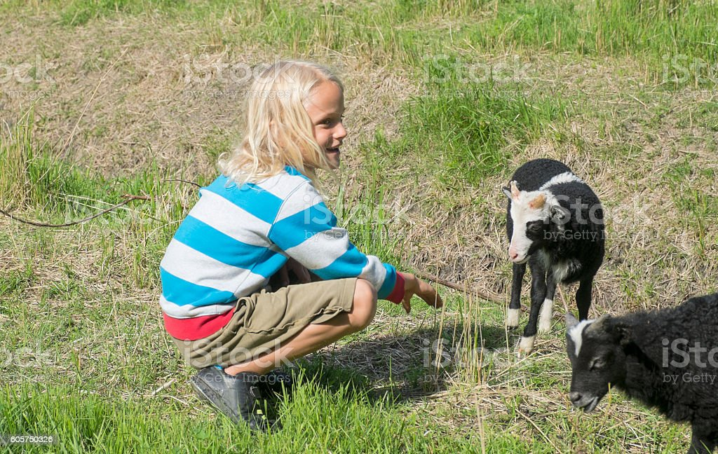 Blond boy with lambs in the meadow, Sweden summer. stock photo