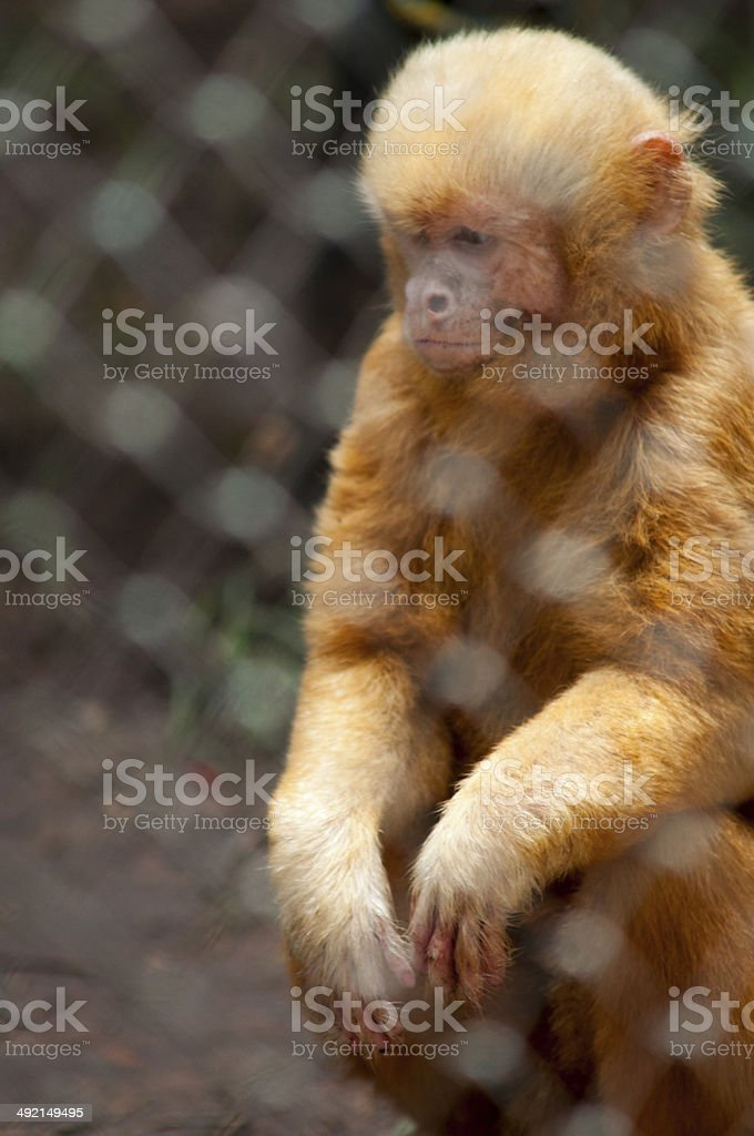 Blonde Capuchin, Marcgrave's Capuchin Monkey. stock photo