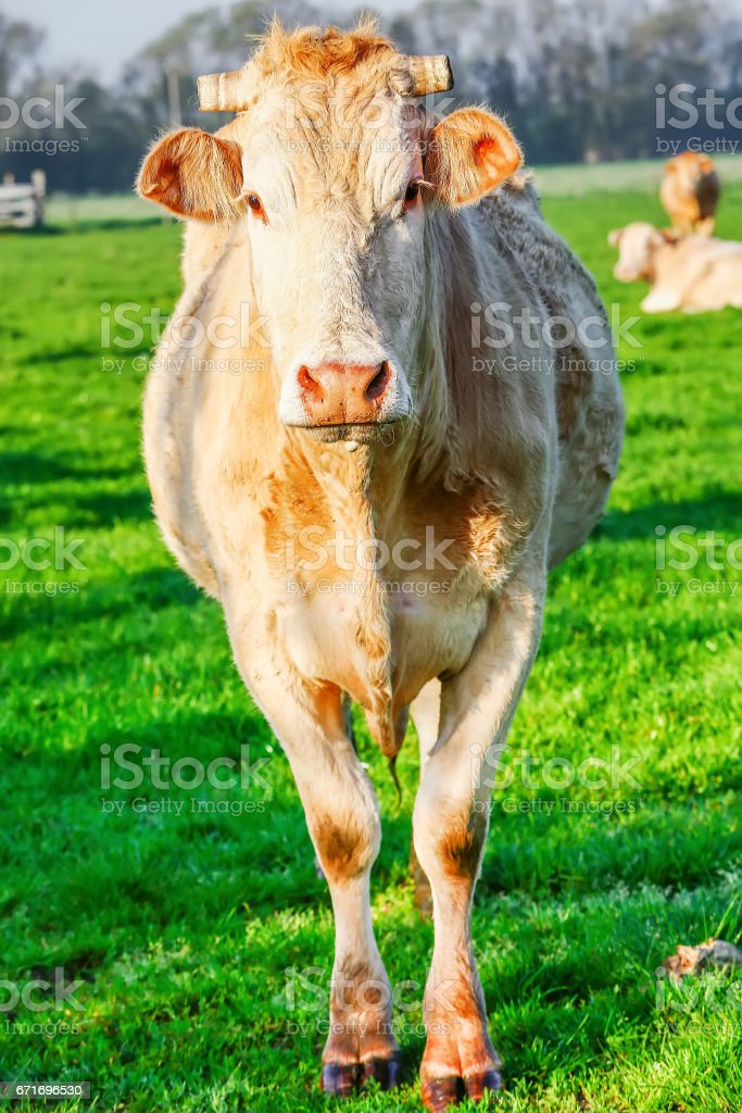 A blonde d'Aquitaine pedigree cow in a green natural meadow stock photo