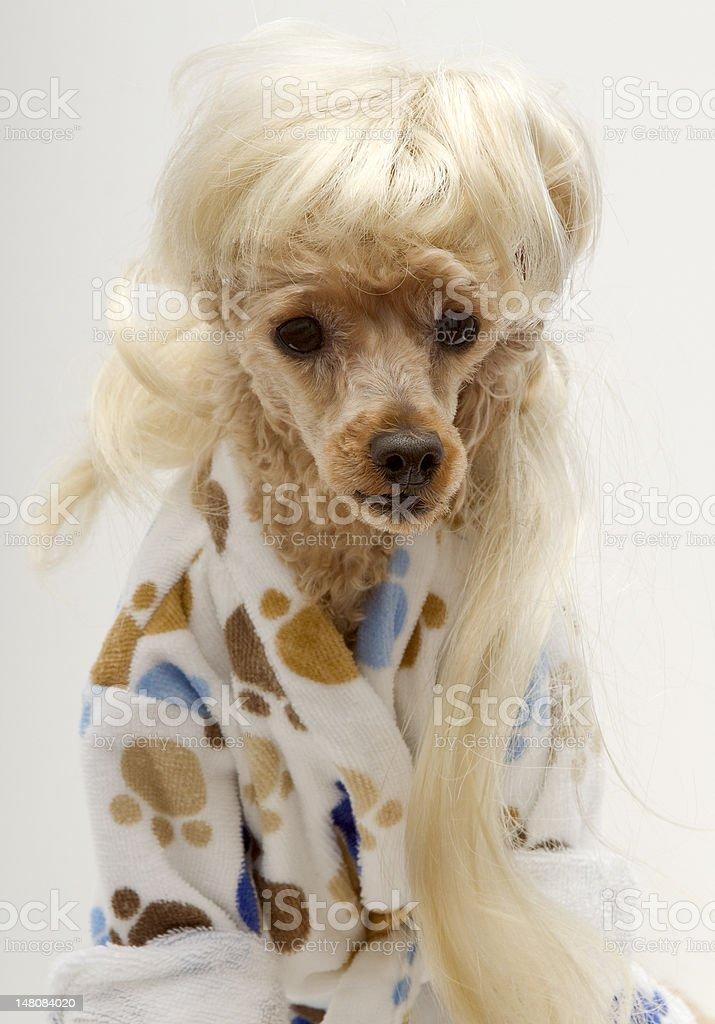 Blonde Dog in Bathrobe royalty-free stock photo