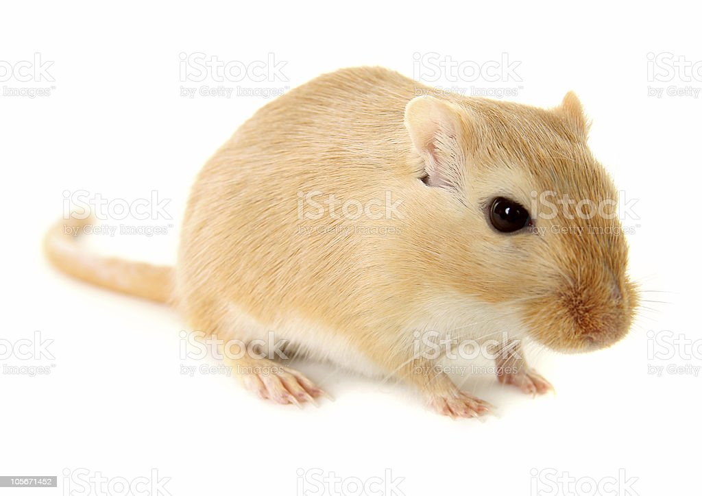 Blonde gerbil isolated on a white background royalty-free stock photo