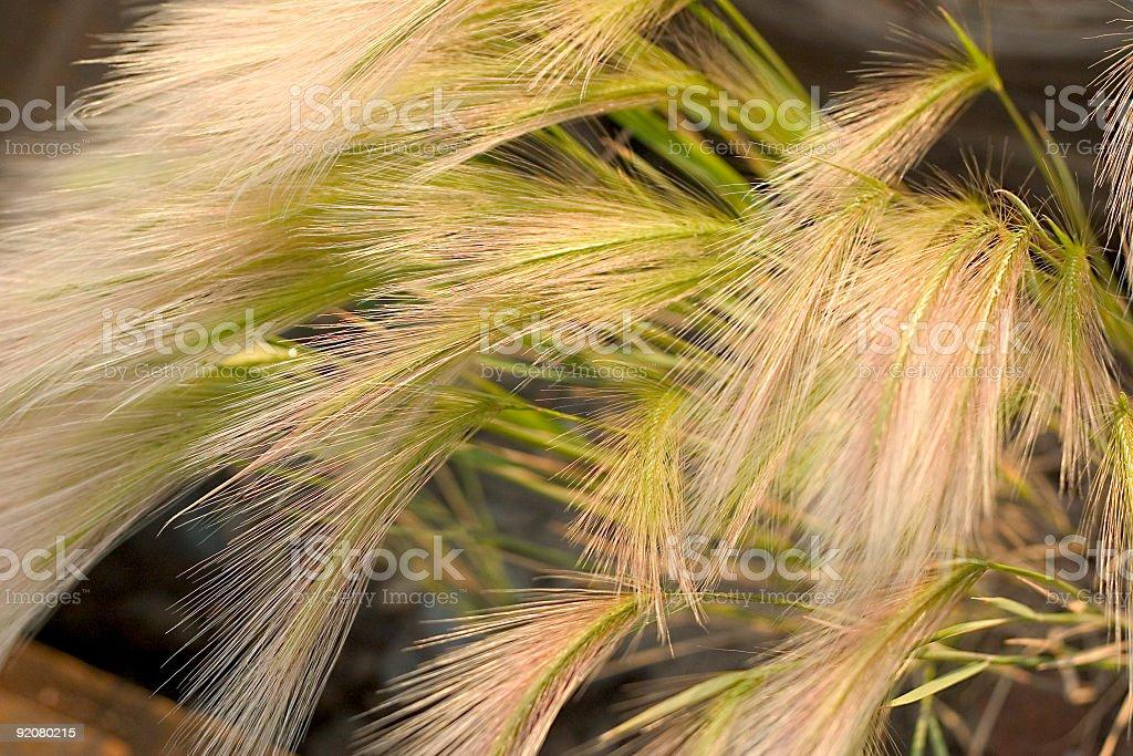 Blonde Grasses royalty-free stock photo