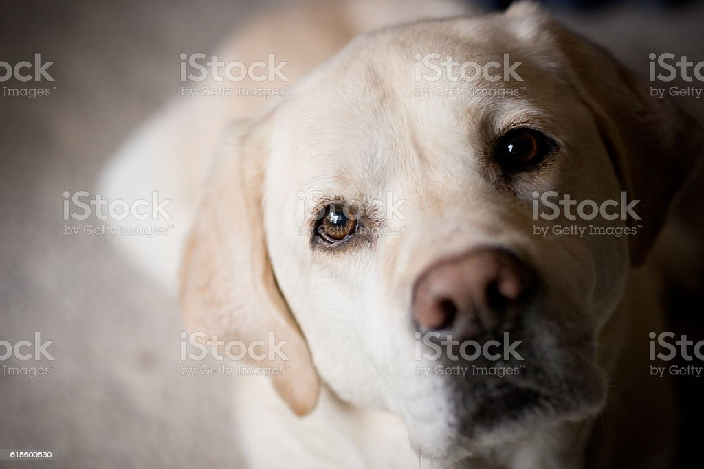 Blonde Labrador Retriever Looking at Camera Room for Copy stock photo
