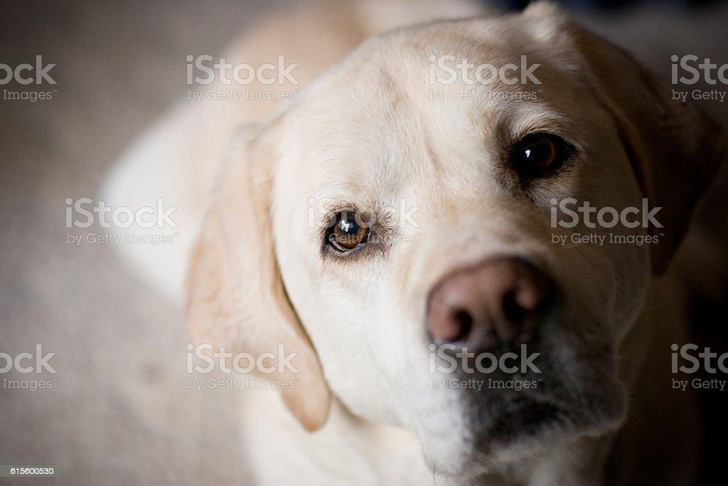 Blonde Labrador Retriever Looking at Camera Room for Copy stock photo
