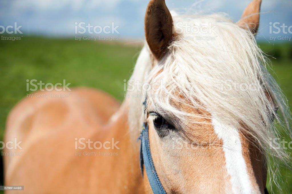 blondeHorse stock photo