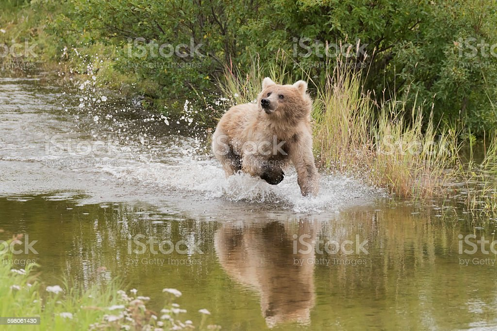 Blondish Grizzly or brown bear splashing through the river stock photo