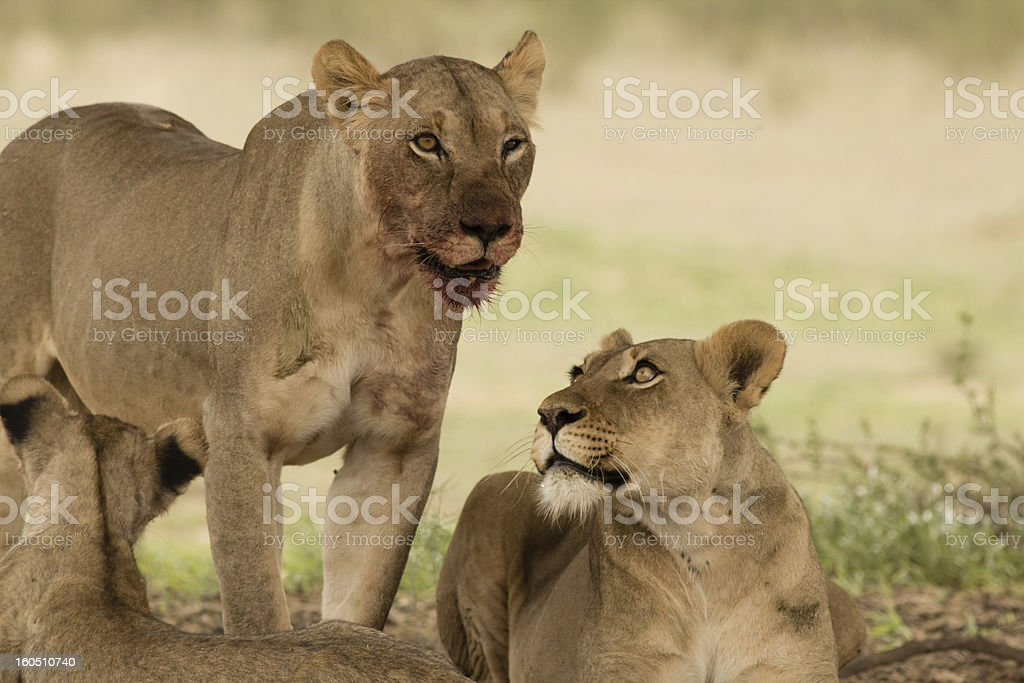 Blood covered Lion Snout royalty-free stock photo