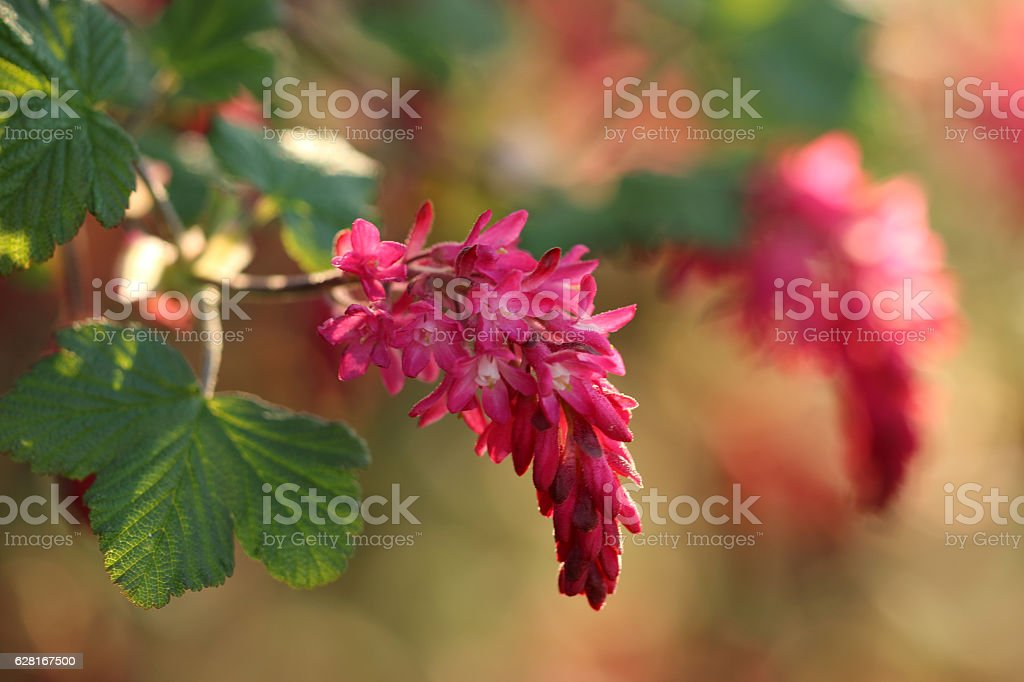 Blut-Johannisbeere stock photo