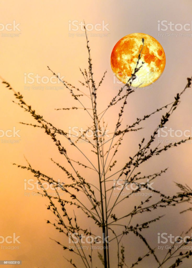 blood moon and silhouette grass in evening stock photo