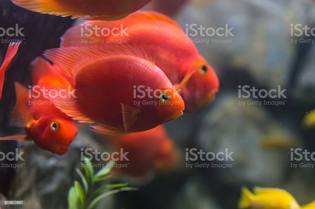 Blood parrot cichlid well known as bloody parrot stock photo