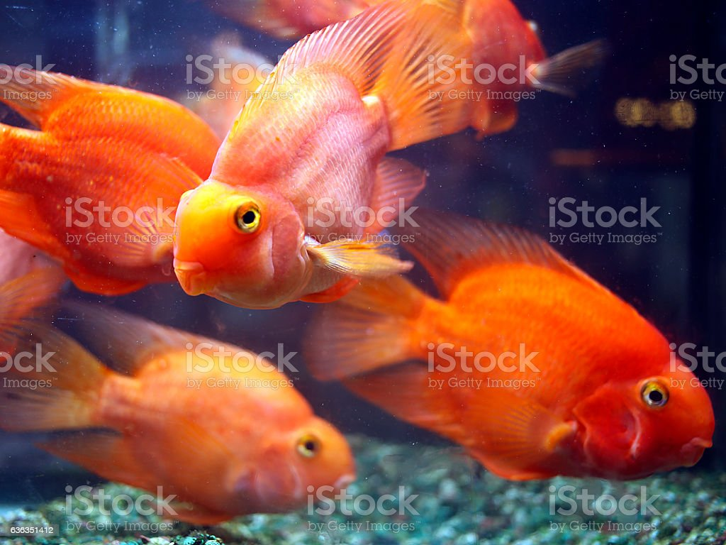 Blood Parrot Cichlids in Fish Tank stock photo