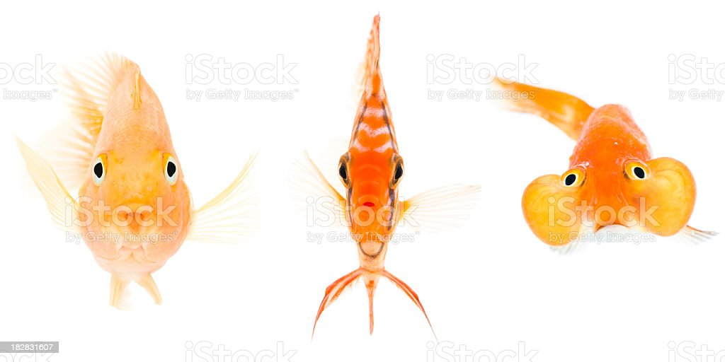 blood parrot  discus fish and bubble eye goldfish royalty-free stock photo
