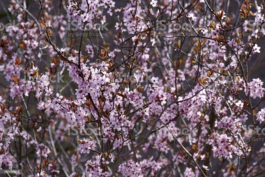 Blood plum tree stock photo