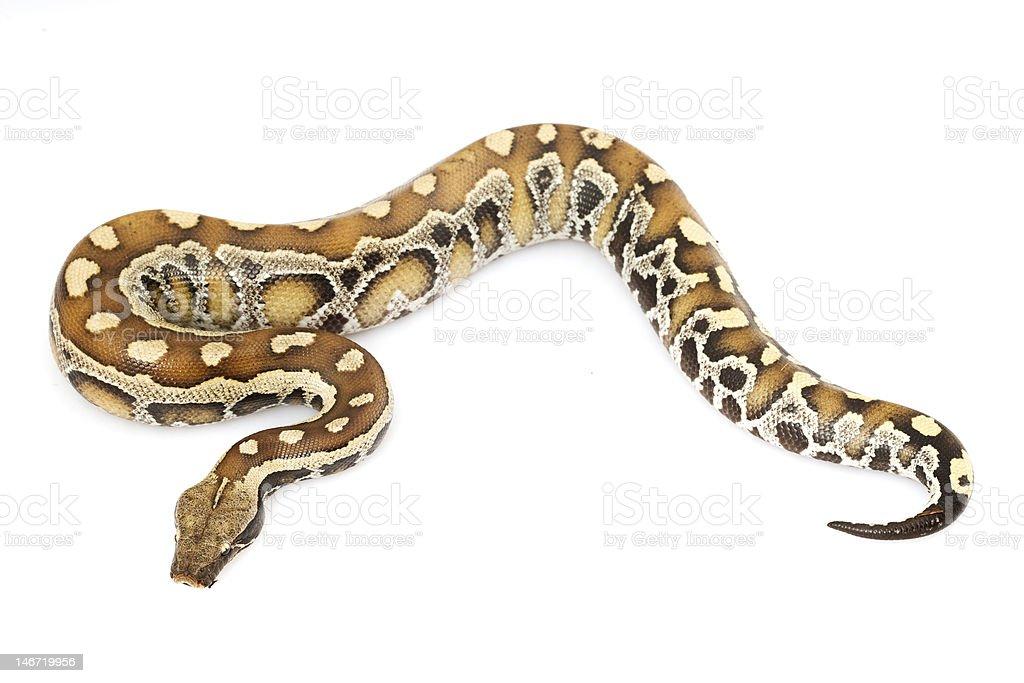 Blood Python royalty-free stock photo