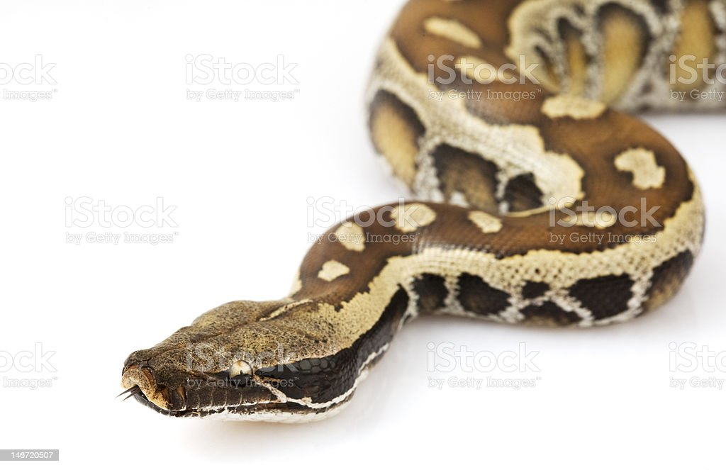 Blood Python royalty-free stock photo