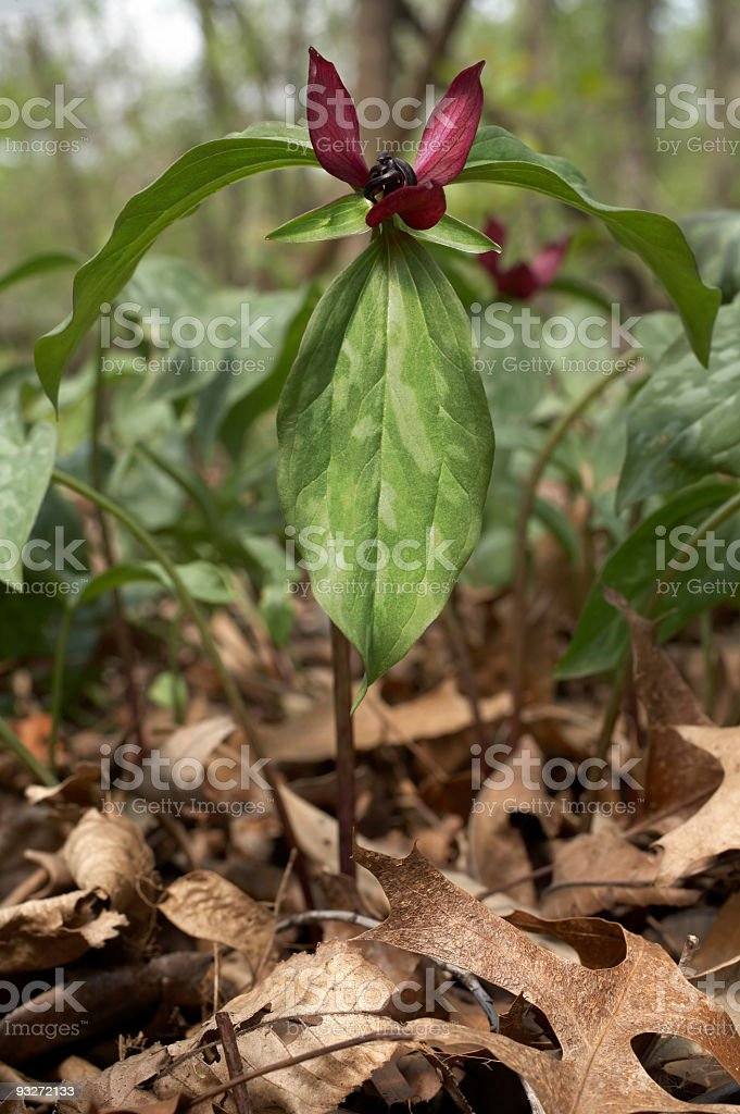 Blood Red Trillium royalty-free stock photo