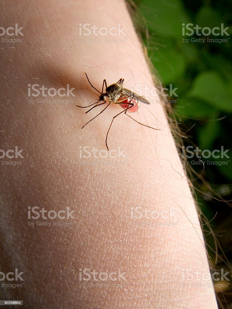 Blood sucking Mosquito stock photo