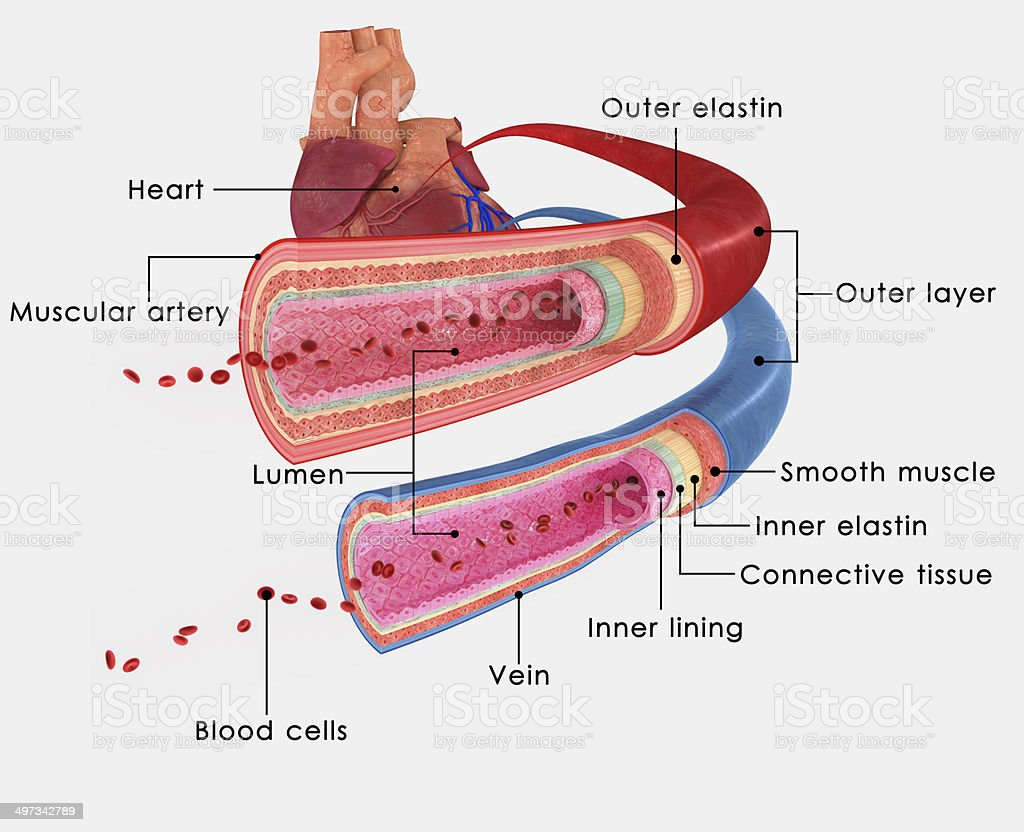 Blood vessels labelled stock photo