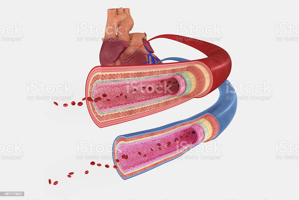 Blood Vessels stock photo