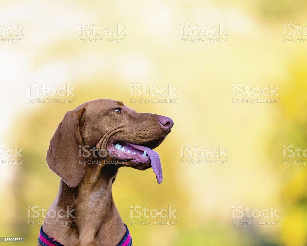 Bloodhound Dog stock photo