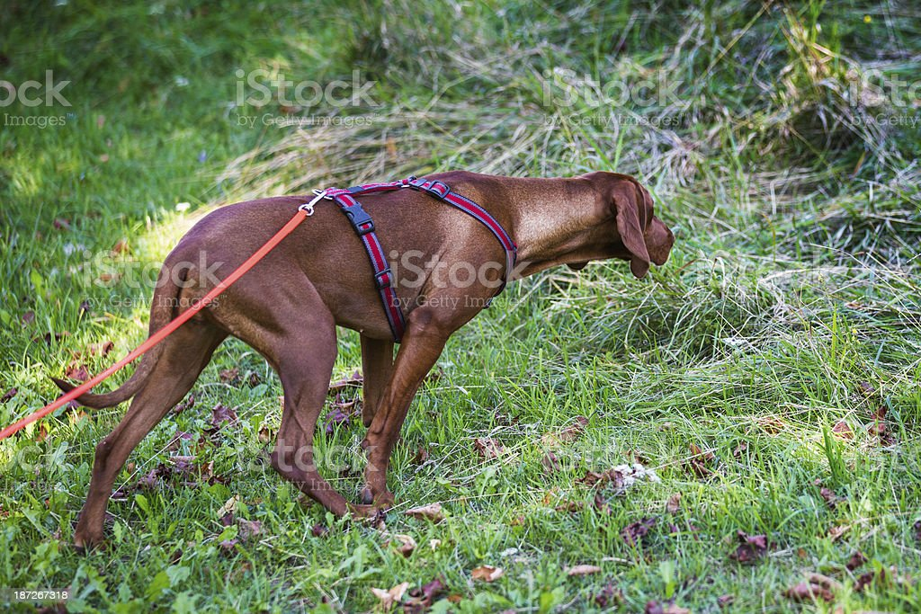 Bloodhound Dog royalty-free stock photo