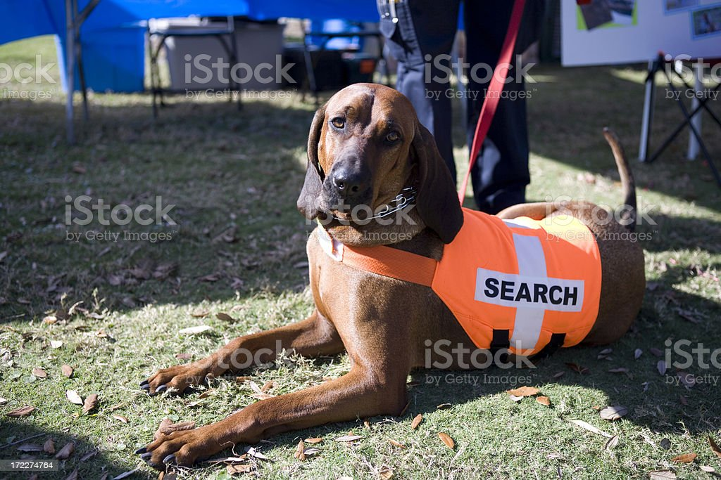 Bloodhound stock photo