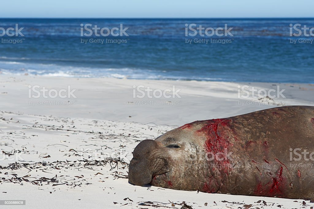 Bloodied Male Elephant Seal stock photo