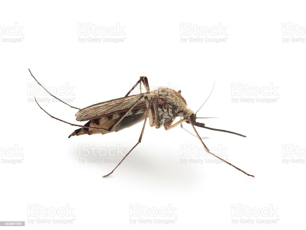 Bloodsucker mosquito (Culex pipiens) stock photo