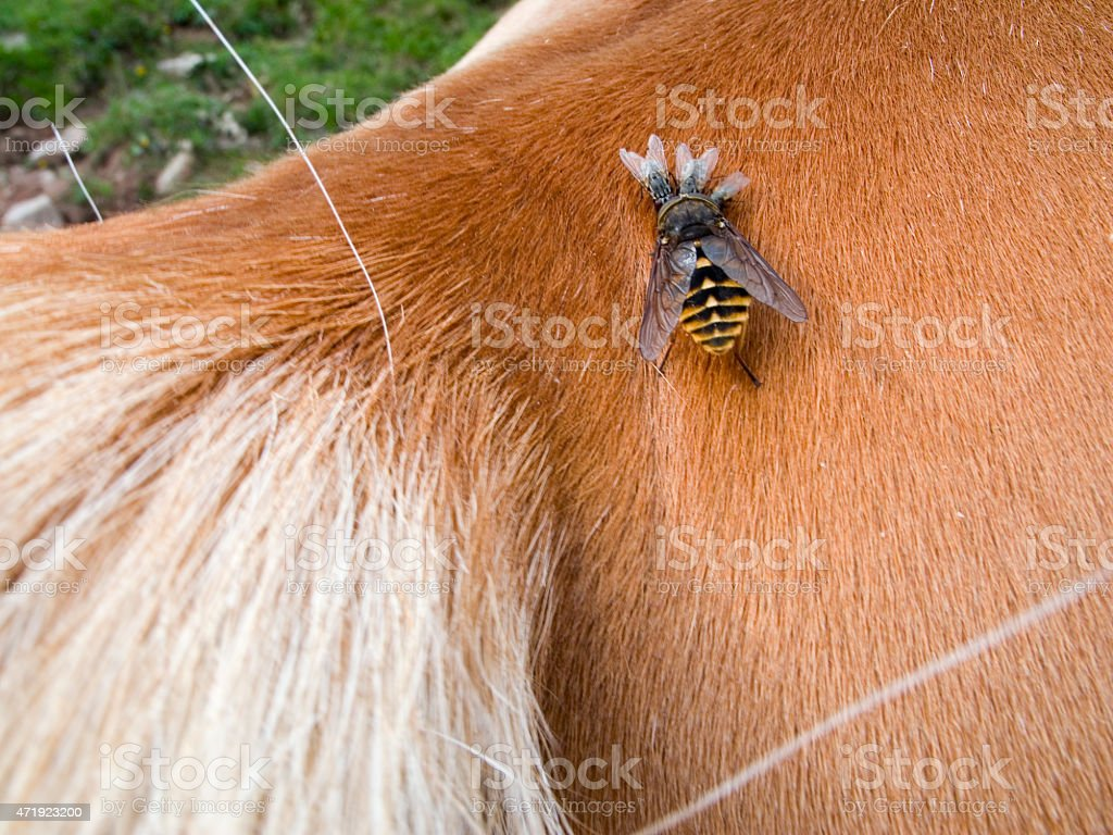 blood-sucking insects on horse stock photo