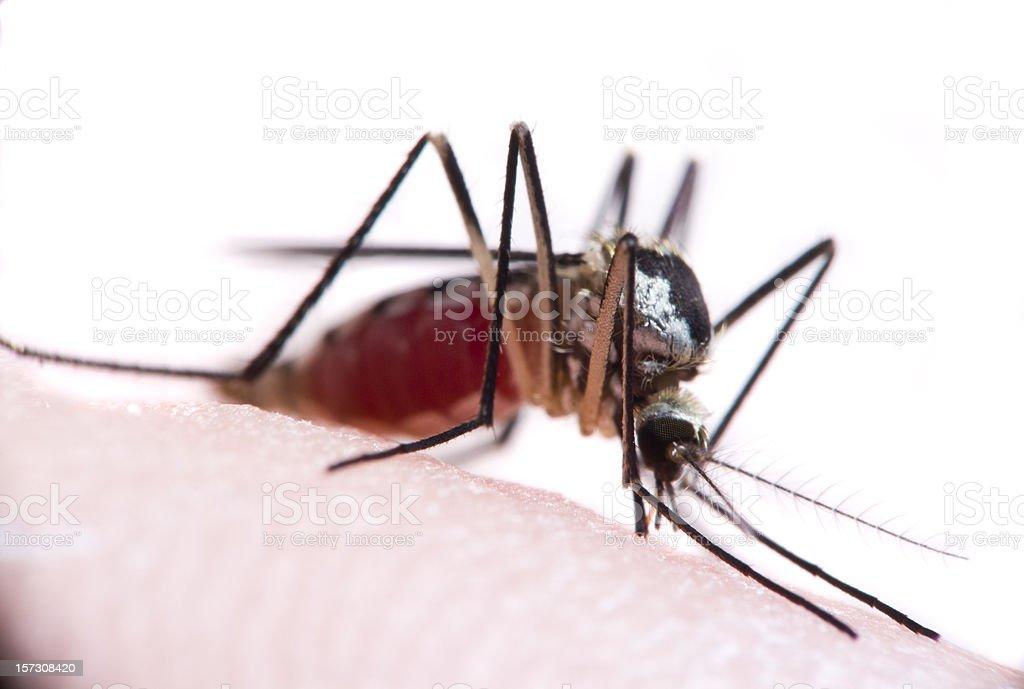 Bloodsucking Mosquito royalty-free stock photo