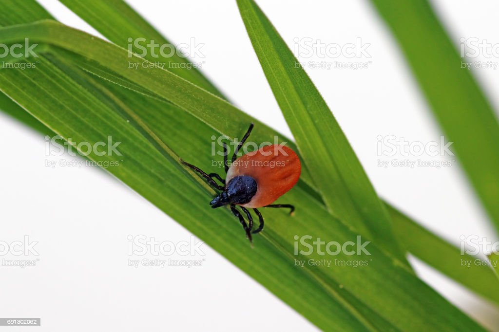 A blood-sucking tick on a blade of grass stock photo