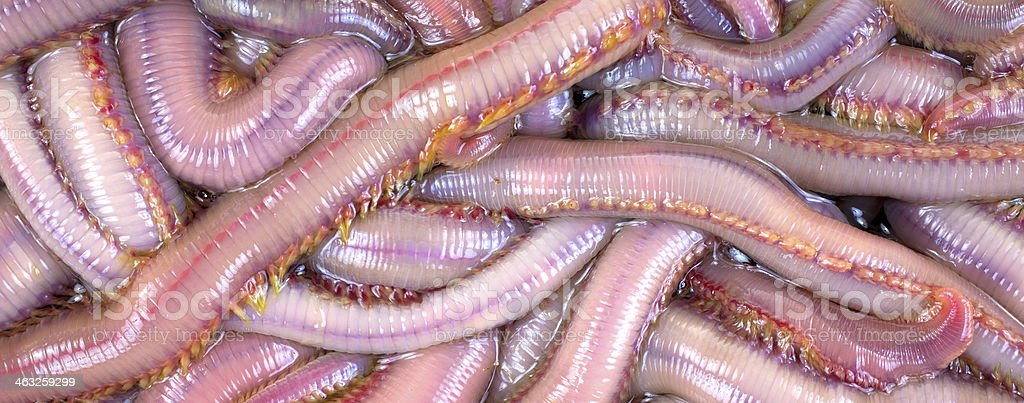 Bloodworms stock photo