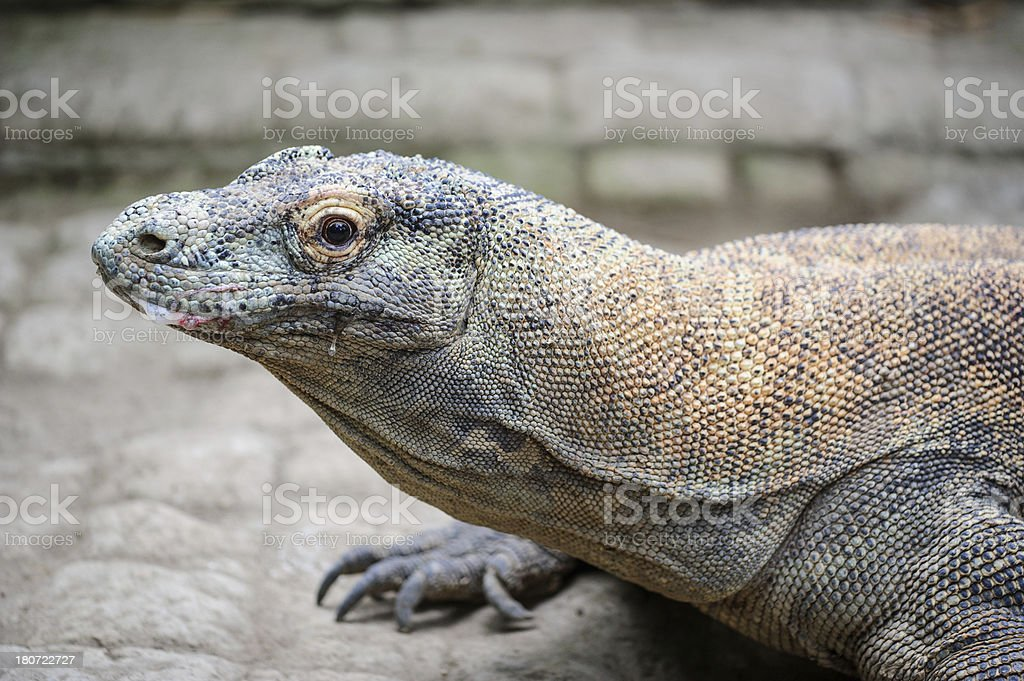 Bloody Komodo Lizard royalty-free stock photo