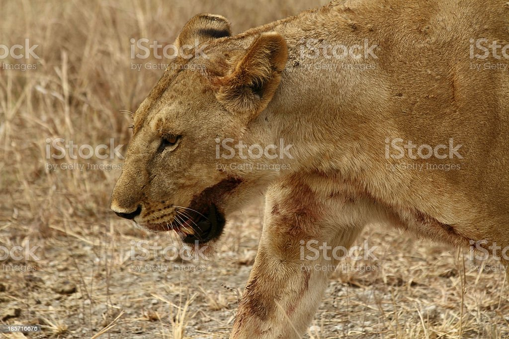 Bloody Lioness head shot royalty-free stock photo