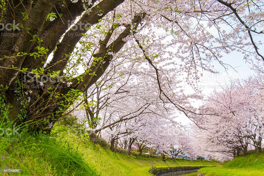 Bloom cherry landscape in dry riverbed stock photo