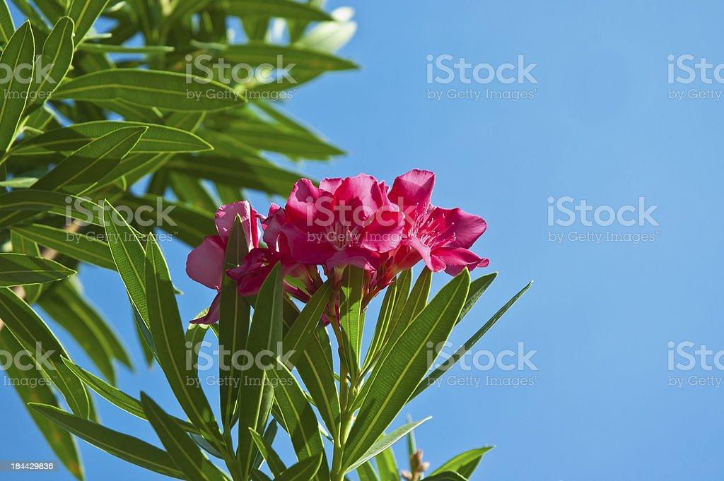 bloom desert rose stock photo