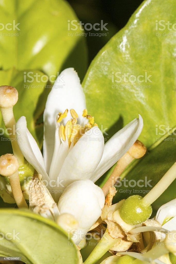 bloom flower of the orange tree royalty-free stock photo