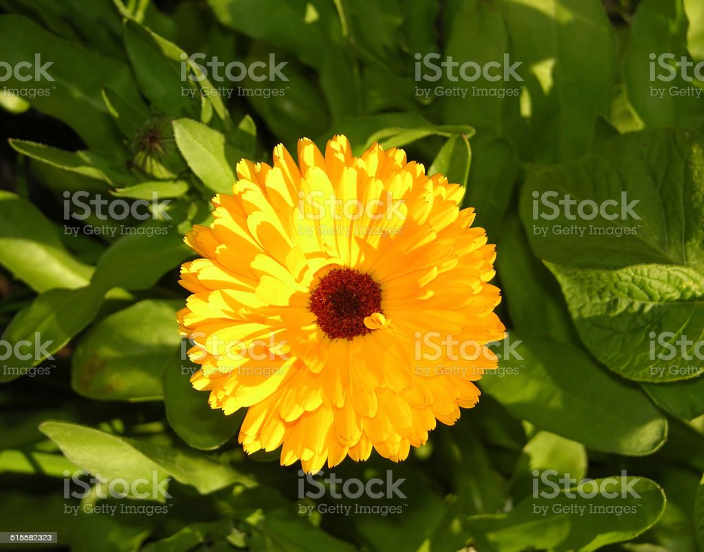 Bloom of a calendula in a close-up view with leaves stock photo