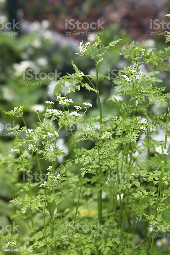 Bloom of chervil stock photo