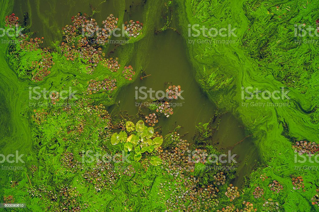 Bloom of diatoms stock photo