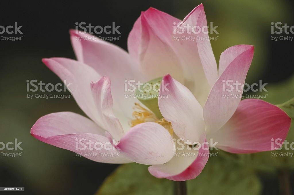 bloom pink lotus royalty-free stock photo