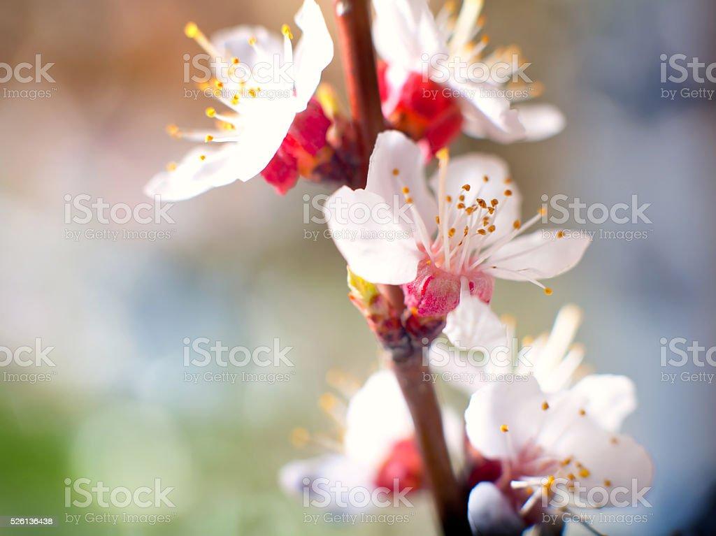 bloom spring tree stock photo