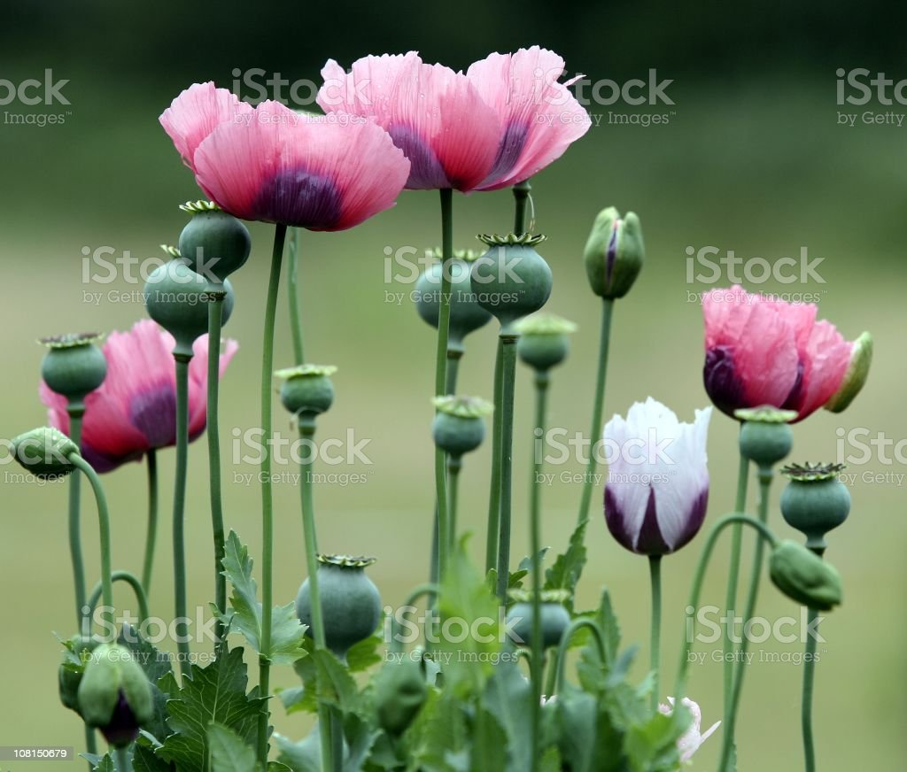 Bloomed and Unopened Poppy Flowers stock photo
