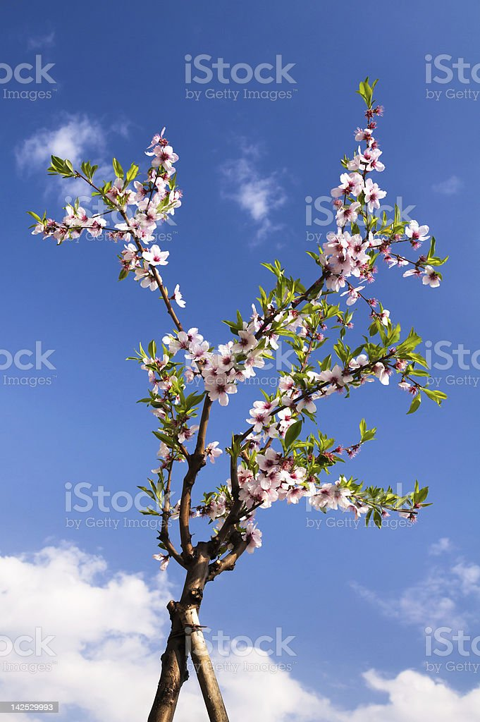 bloomed branch of almond tree stock photo