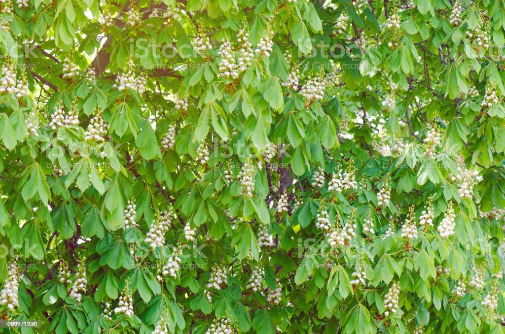 Bloomed Chestnut Trees stock photo