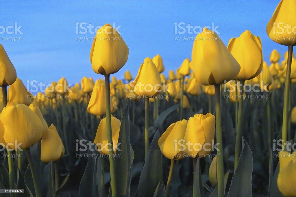 Bloomin' Yellow Tulips royalty-free stock photo