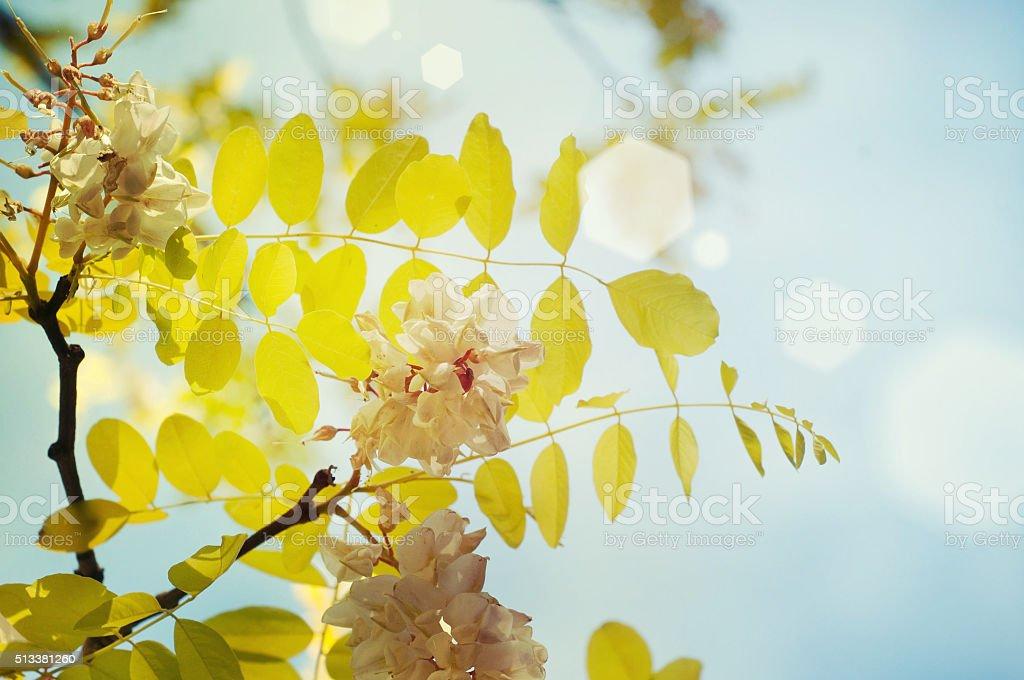 Blooming acacia stock photo